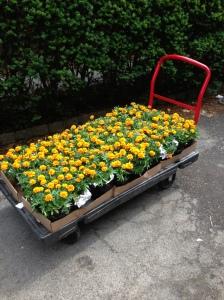 2013-06-03(marigolds)