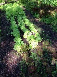 2013-06-19(lettuce)